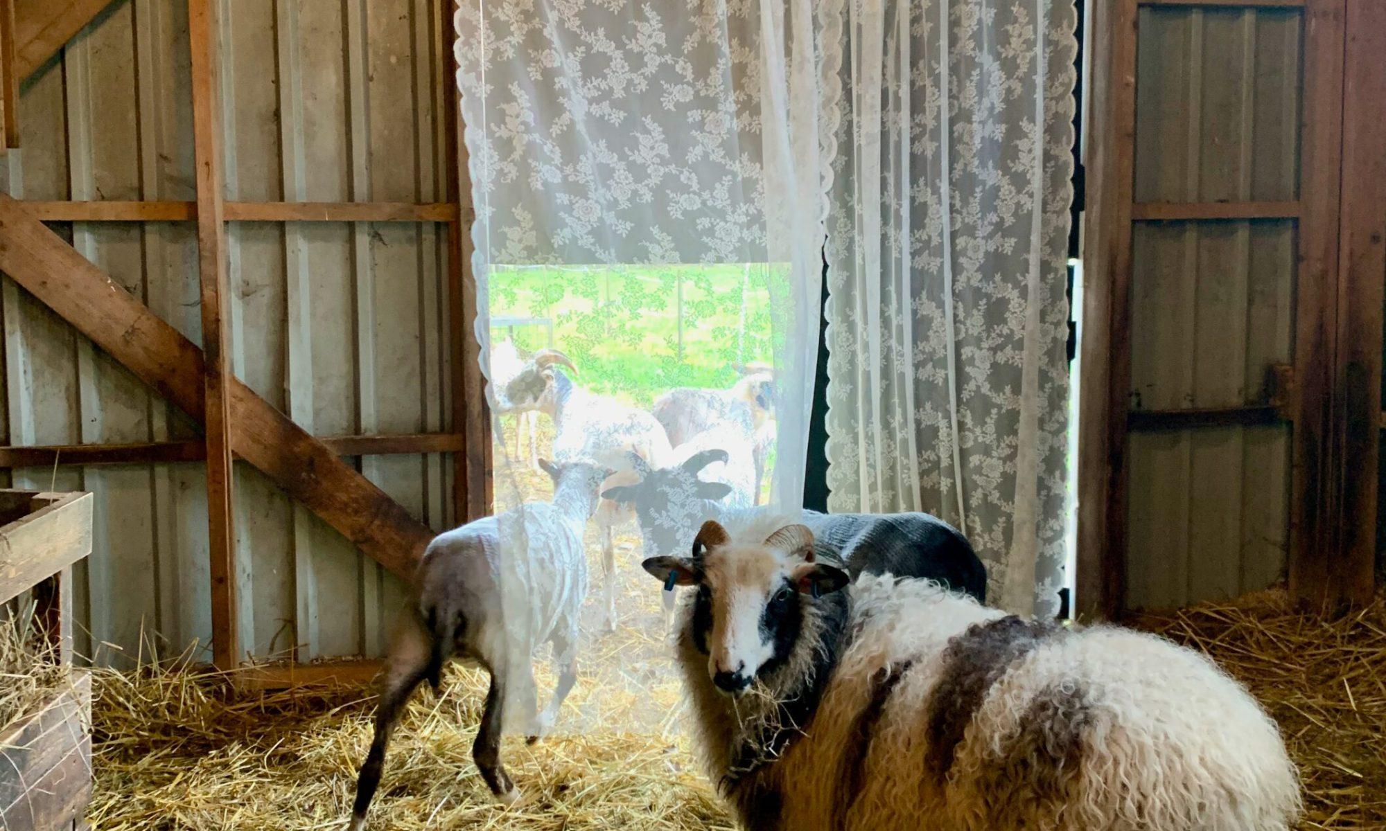 Gunvor the Gestrike ewe who was my longitudinal fleece study sheep