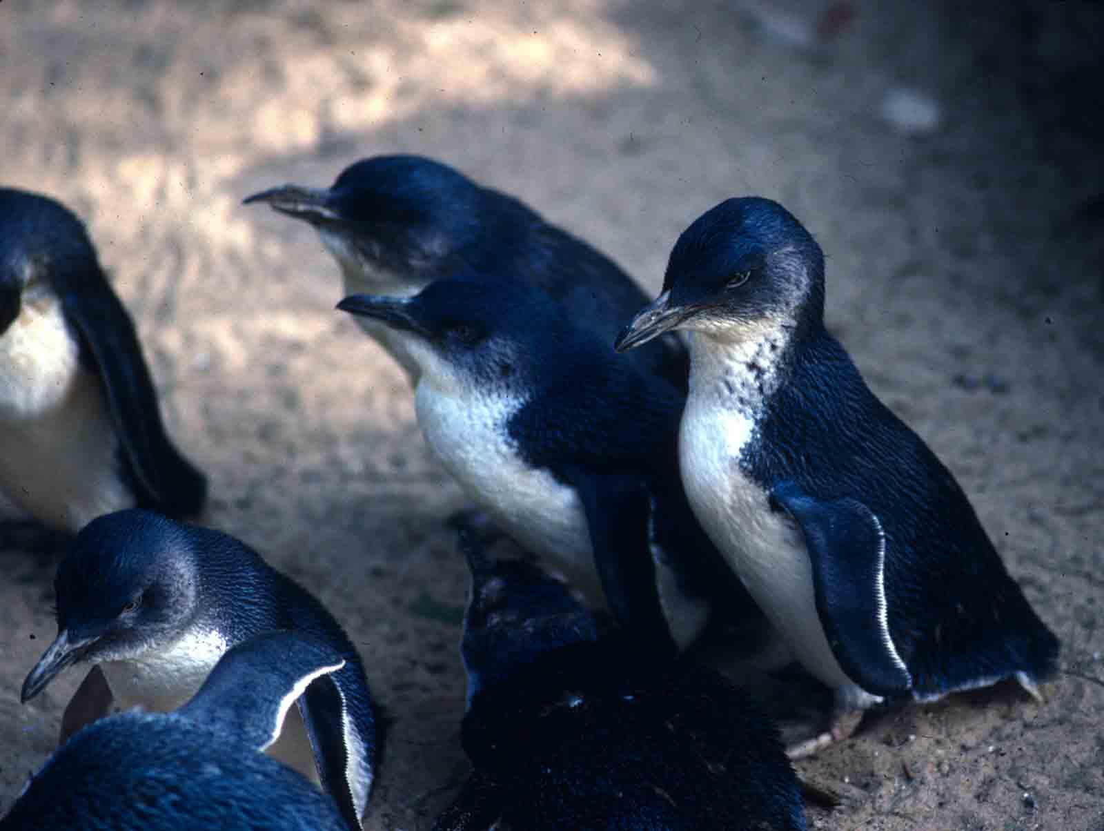Penguins on Phillip Island