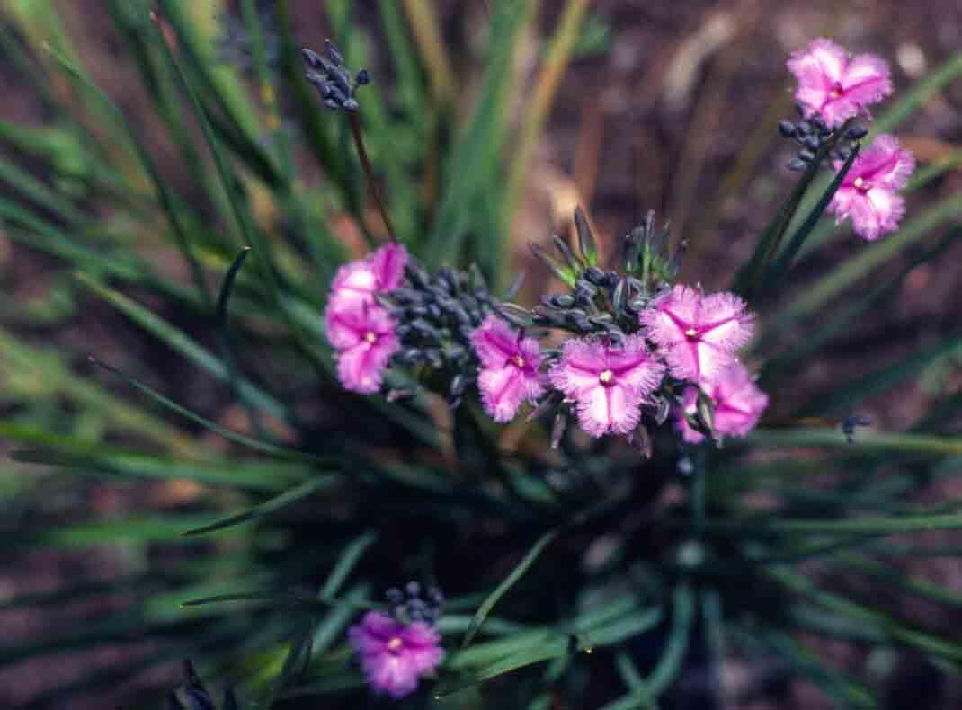 Purple Fringed Lily