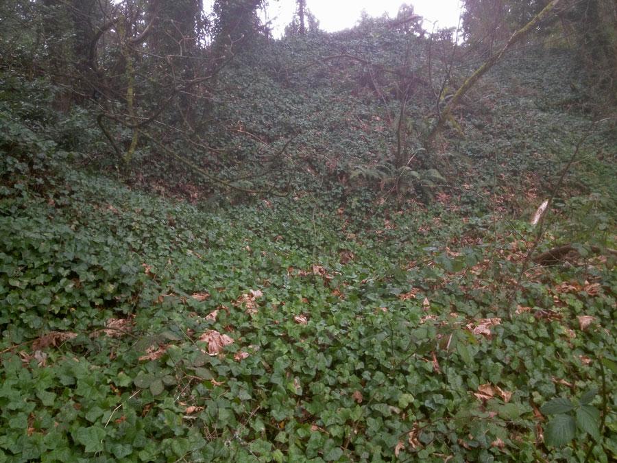 Ivy Dominates the Hillsides