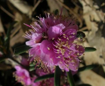 Hypocalymma strictnum flower