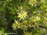 Image from http://wongantourism.com.au/photo-collection/local-flora/myrtaceae/