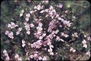 Stylidium bulbiferum
