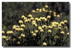 Petrophile ericifolia