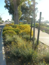 Nice verge. Conostylis candicans in foreground.