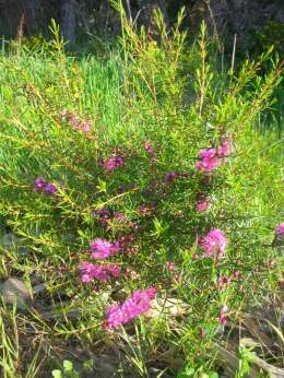 One of several bushes. Small shrub with prolific and very appealing pink flower distributed along stems.