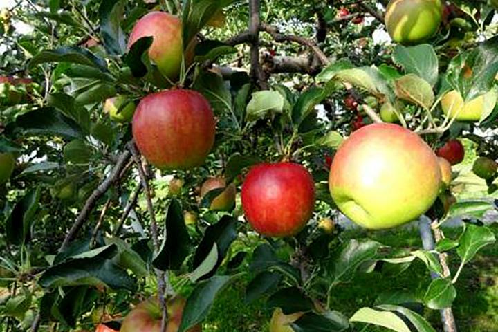 aomori-apple