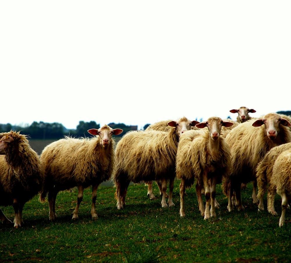sheep need a shepard Peppe Ragusa