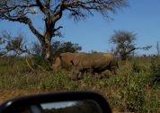Rhino near the lion kill.