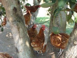Happy chickens climb