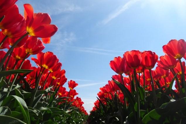 Tulpenvelden Groningen