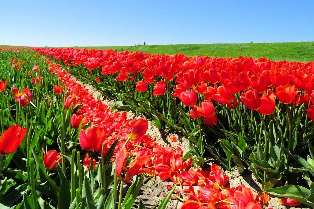 Tulpenveld Noordpolderzijl Groningen