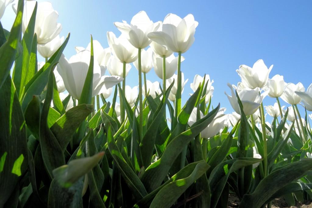 tulpenveld 't Waar Groningen