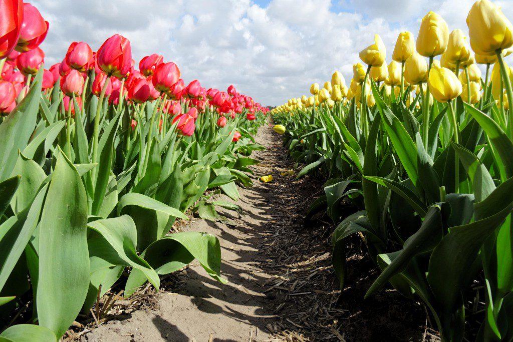 Lisse tulpenvelden Nederland