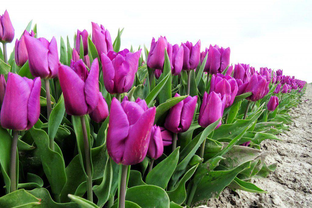 Spijk tulpevelden Groningen
