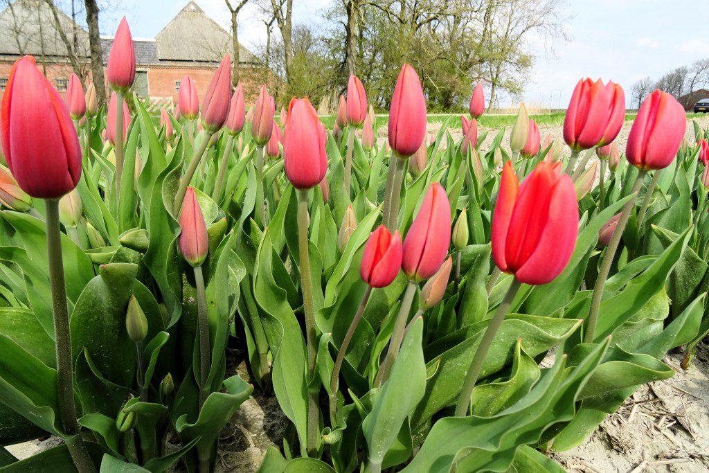 Uithuizermeeden tulpenvelden Groningen