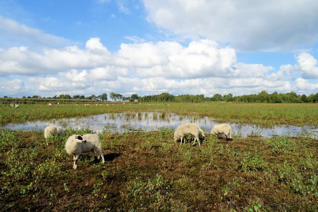 Natuurpark De Heemtuin schapen herfst