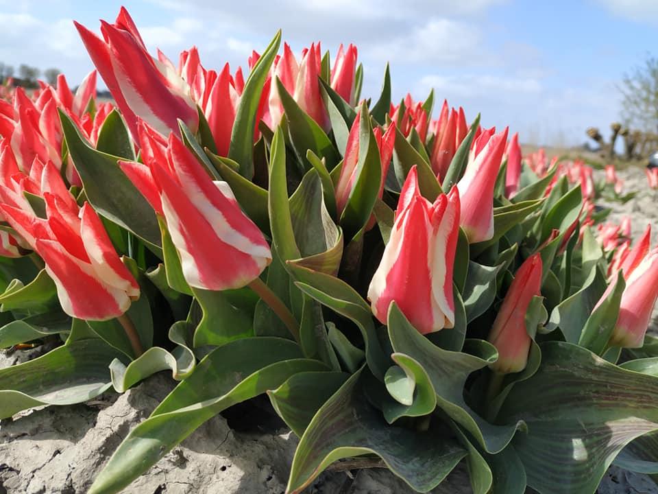 tulpen Garsthuizen Groningen