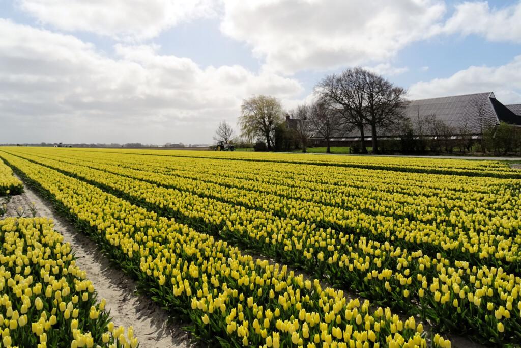 tulpenvelden Valom Groningen