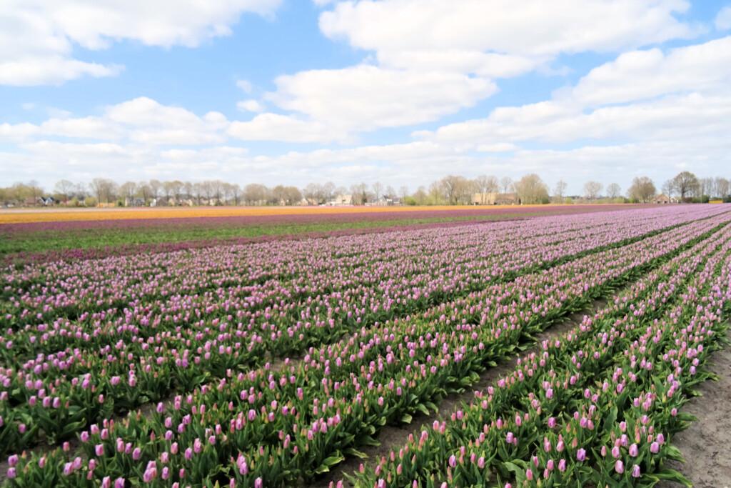 tulpenvelden Dwingeloo Drenthe