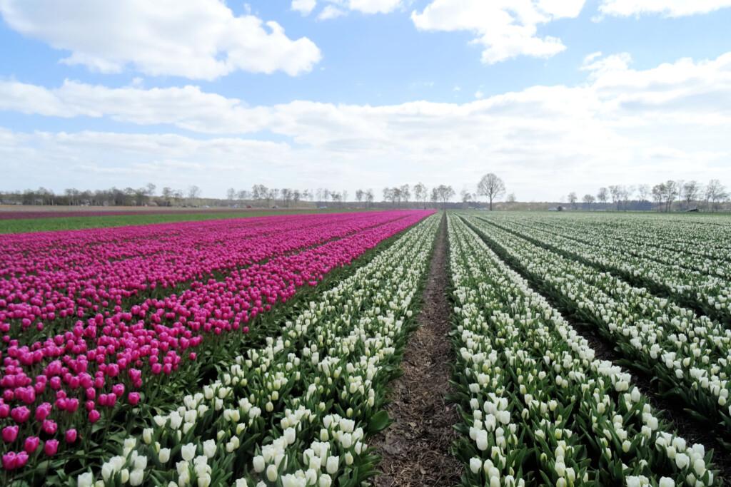 tulpenveld Oranje Drenthe