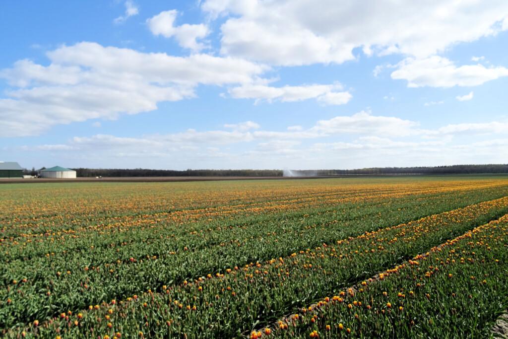 tulpenveld Smilde Drenthe