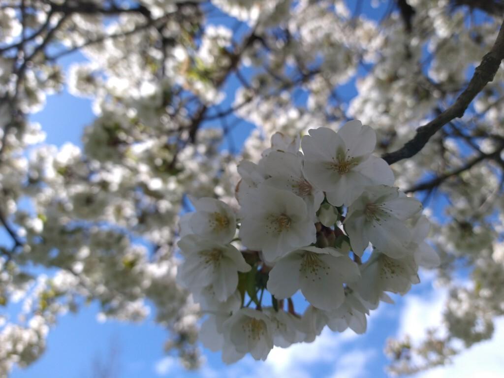 bloesem lente