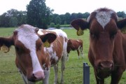 Koeien langs het Marskramerpad bij Deventer