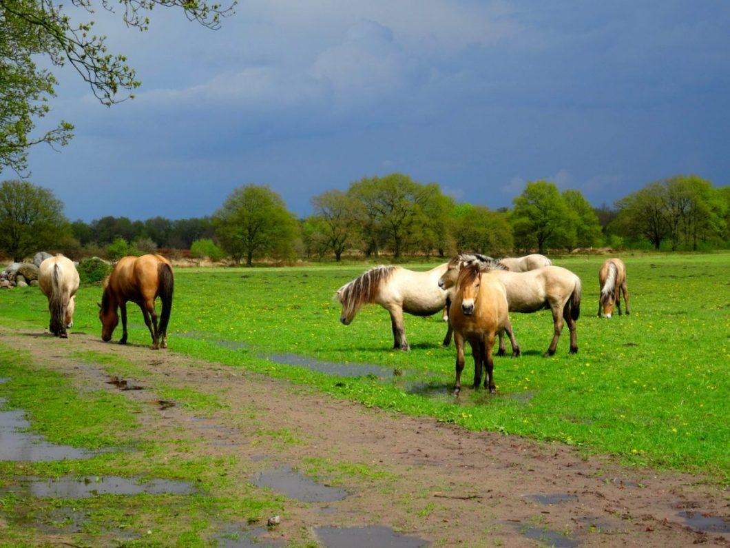 Paarden op het Baloërveld