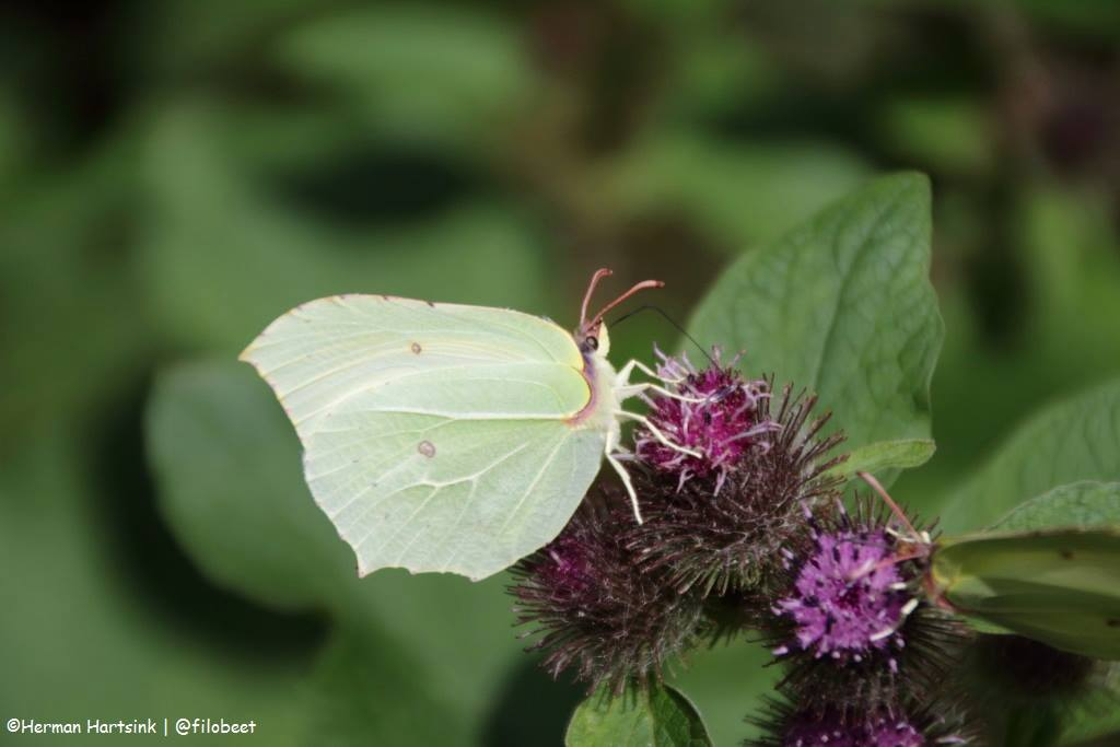 NS Wandeling Utrechtse Heuvelrug vlinder