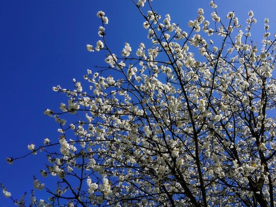 Fruitboom in bloesem - Bloesemtocht Buren