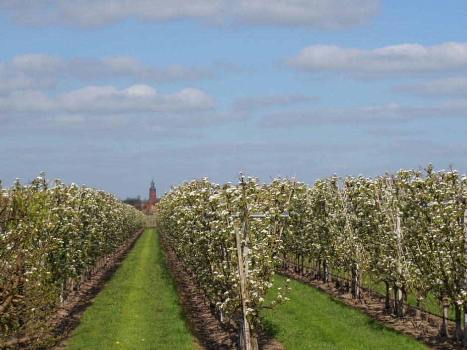 Fruitboomgaard met toren Buren - Bloesemtocht