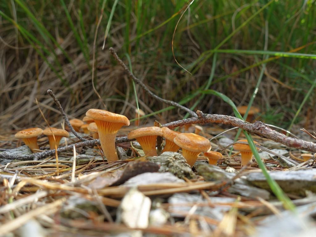 Nordpfade Dör 't Moor Duitsland paddenstoelen