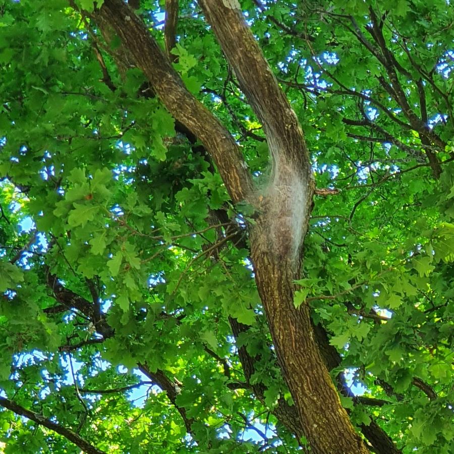 Nest van de eikenprocessierups in een eikenboom