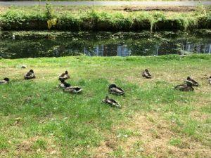 Slapende eenden