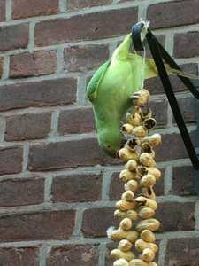 Halsbandparkiet eet pinda's