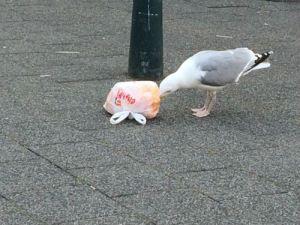 Meeuw eet plastic zakje