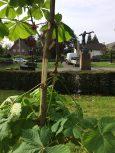Schade aan de Anne Frankboom