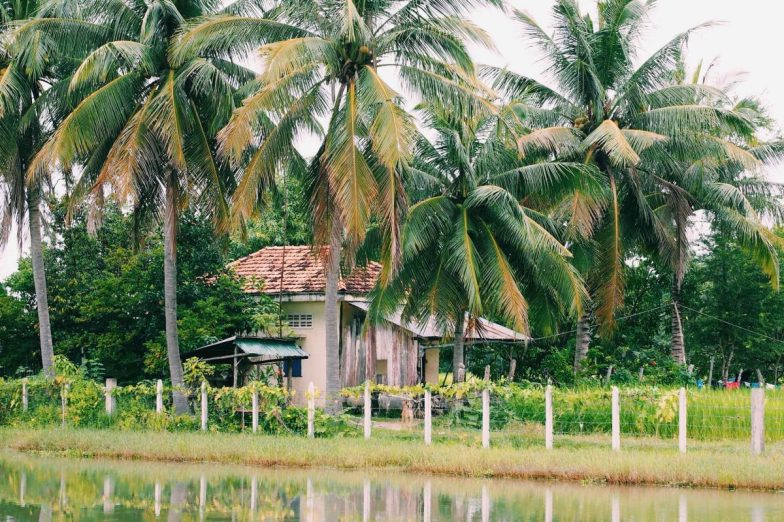A home on a rice field surrounded by tall palm trees.