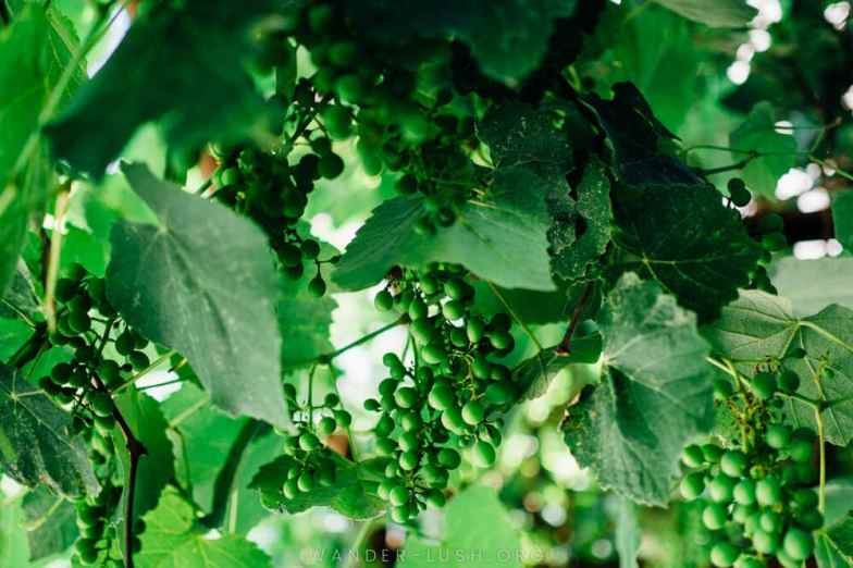 A close-up of green vines and grapes.