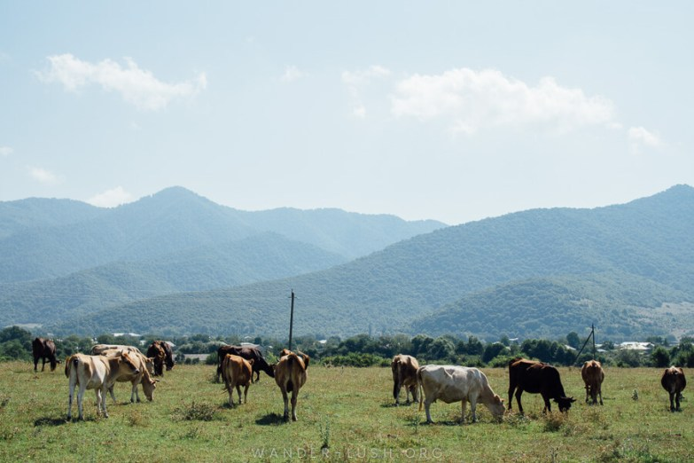 Hazy mountains and a group of cows grazing on green grass in Pankisi Gorge.