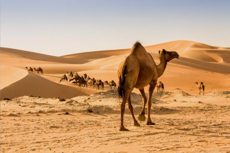 Camels walking through the desert.
