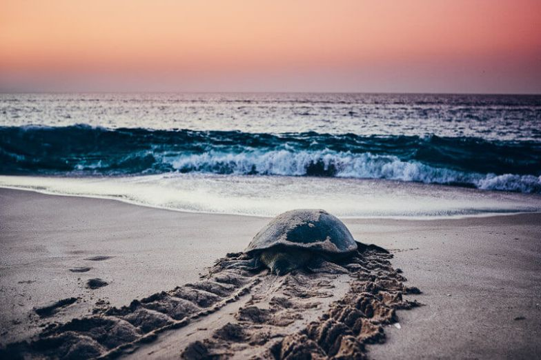 A large turtle makes its way down the beach in Oman.