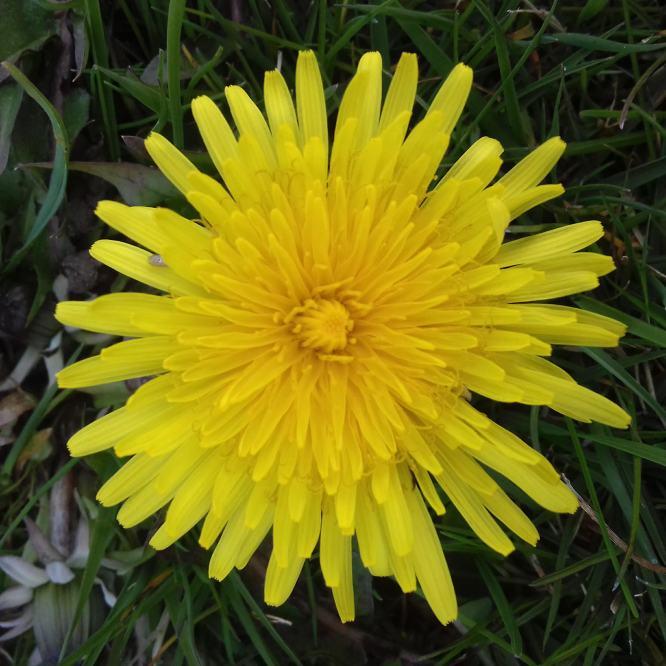 Dandelion Flower Syrup