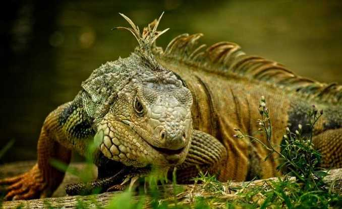 what can iguanas eat
