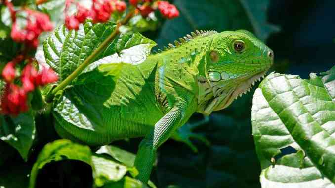 what does iguanas eat