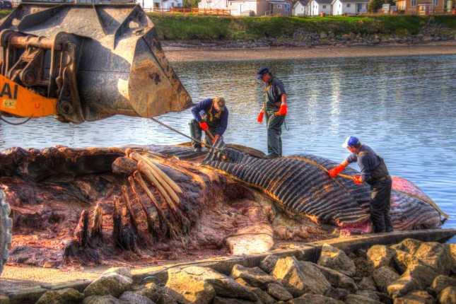 Die Körperteile des Wals werden mit einem Bagger weggetragen