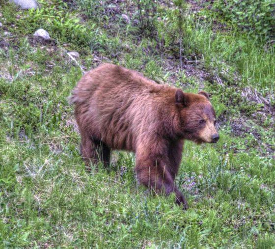 Ein entspannter Bär streift durchs Gras und schnurpst Gras