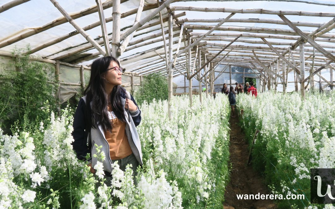 Northern Blossom Flower Farm in Atok, Benguet