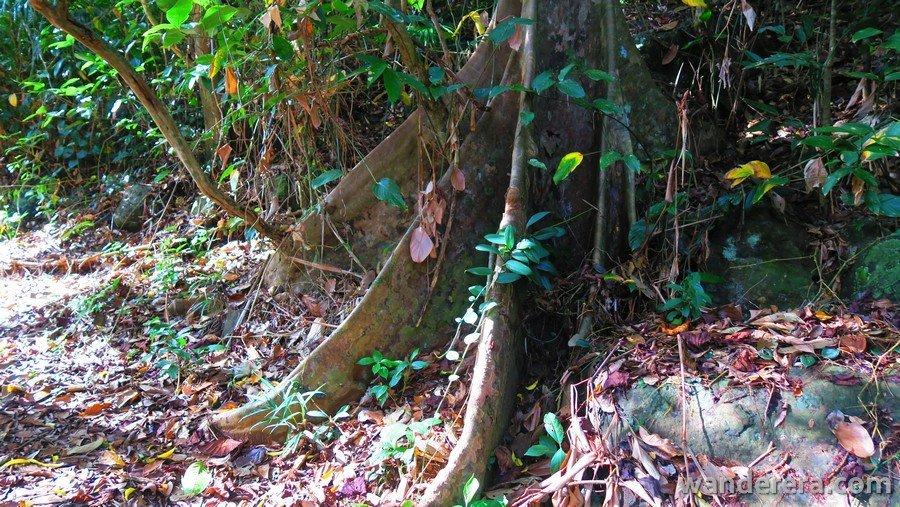 Narra Roots in Palaui